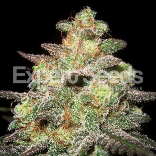 Chemdog Gorilla | Chemdog Millionare X GG4 | Cannabis | Expert Seeds