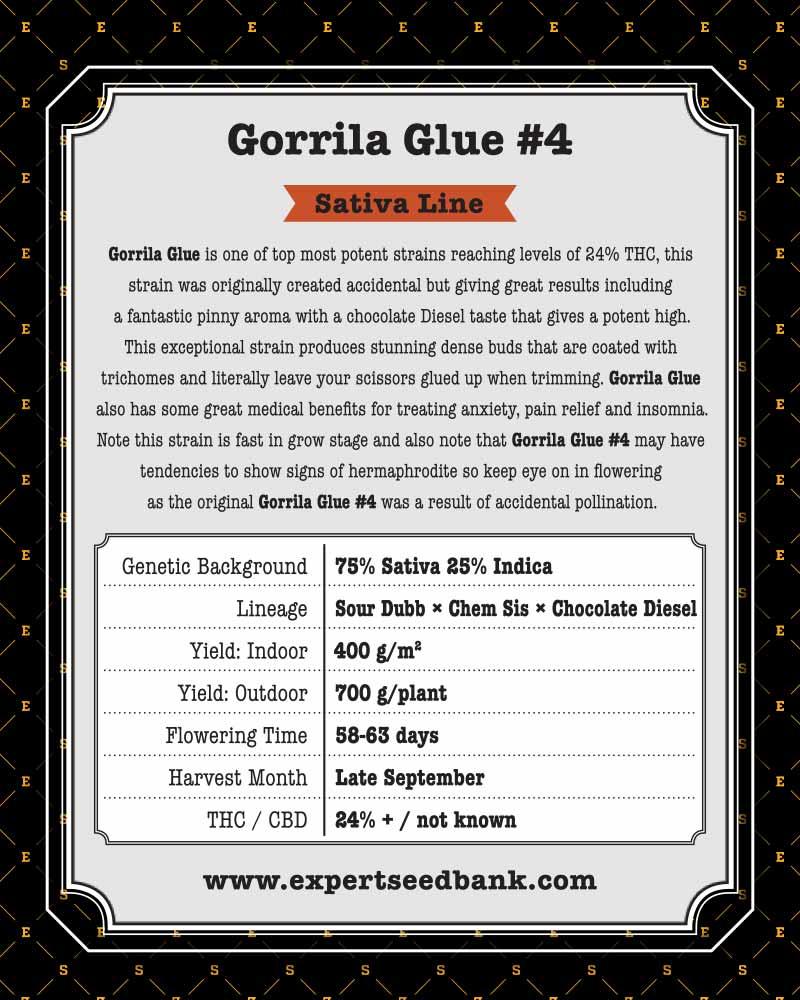 Gorilla Glue 4 Seeds Chem Sis X Chocolate Diesel X Sour Dubb