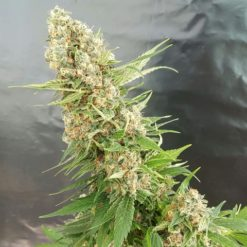 Buy - Critical Gorilla - Expert Seeds - Cannabis Seeds