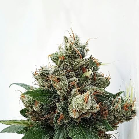 Respect 4 Gorilla - Expert Seeds - Cannabis Seeds